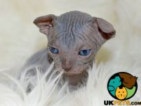 Sphynx For Sale in Lodon