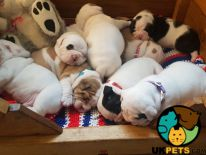 English Bulldog Online Ad