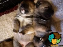 Japanese Shiba Inu For Sale in Lodon