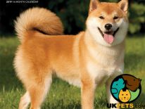 Japanese Shiba Inu Wanted in Great Britain
