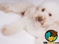 Miniature Poodle For Stud in Lodon