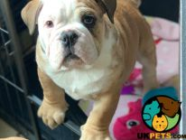 English Bulldog For Sale in Lodon