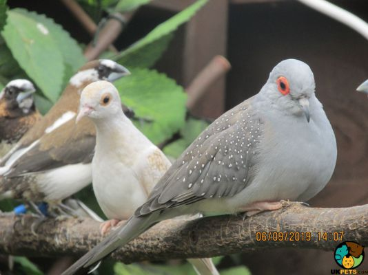 Doves For Sale >> Beautiful Pale Fawn Diamond Dove Chick For Sale 164349 Uk Pets