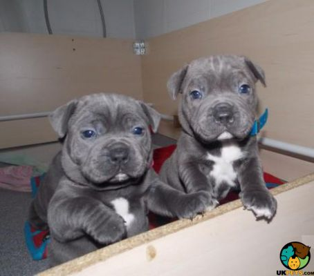 Responsible Homes Only Staffordshire Blue Terrier Puppies For Sale