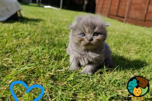 Scottish Fold For Sale in Great Britain