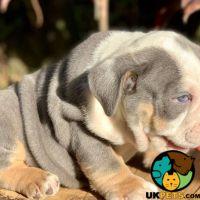 English Bulldog Dog Breed Information | UK Pets