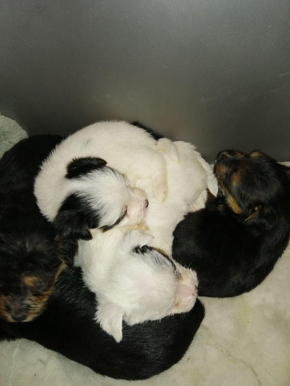 Yorkshire Terrier X Norfolk Terrier | UK Pets