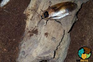 Cockroach For Sale in Lodon