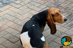 Basset Hound For Stud in the UK