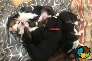 Cute Bernese Mountain Dog For Sale