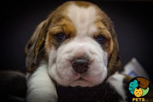 Beagle For Sale in Great Britain