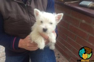 West Highland Terrier Online Ad