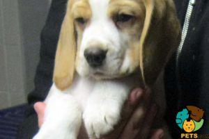 Beagle For Sale in Lodon