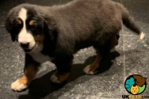 Bernese Mountain Dog For Sale in Great Britain
