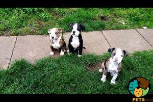American Bulldog for Rehoming