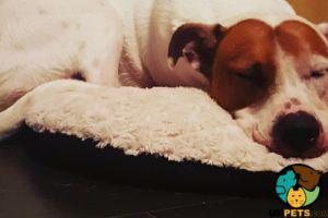 American Bulldog For Sale in Lodon
