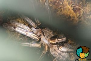 Tarantula For Sale in Lodon