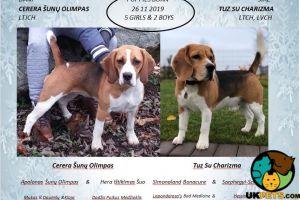 Beagle Advertisement UK Pets