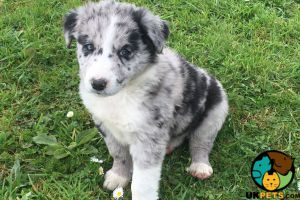Cute Border Collie Wanted