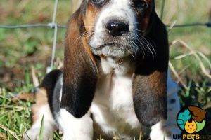 Basset Hound For Sale in the UK