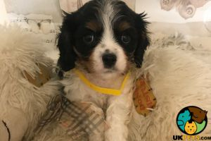 Cavalier King Charles Spaniel for Rehoming
