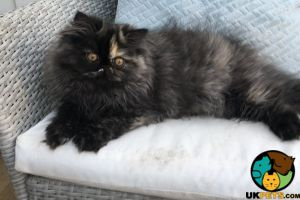 Persian For Sale in Great Britain
