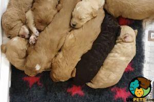 Goldendoodles For Sale