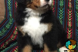 Bernese Mountain Dog For Sale in the UK