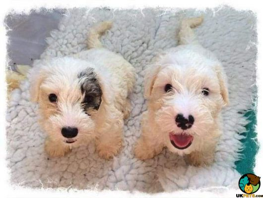 4 Purebred Sealyham Terrier Puppies! | 213730 | UK Pets