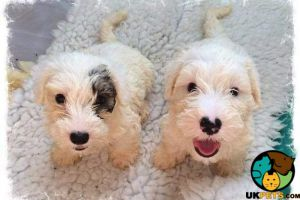Sealyham Terrier For Sale in Lodon