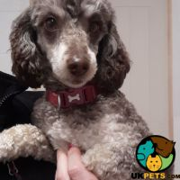 Toy Poodle Dogs For Sale Uk Uk Pets