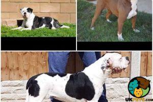 Alapaha Blue Blood Bulldog Advertisement UK Pets