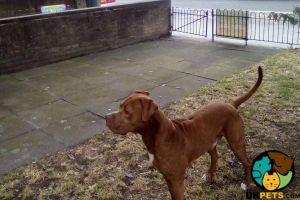 Mixed Breed Advertisement UK Pets