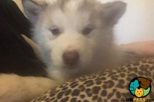 Cute Alaskan Malamute For Sale