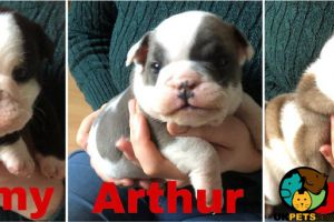 English Bulldog For Sale in Great Britain
