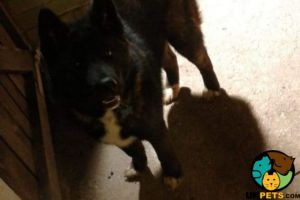 Akita For Sale in the UK