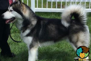 Available Alaskan Malamutes