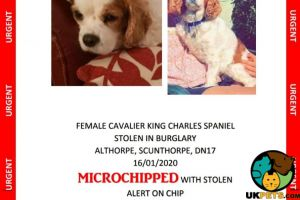 Cavalier King Charles Spaniel Wanted in Great Britain