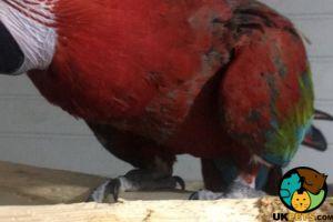 Macaw Advertisement UK Pets