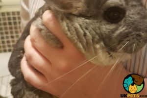 Available Chinchillas