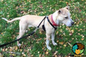 American Bulldog For Adoption in Great Britain