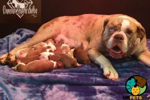 Cute Alapaha Blue Blood Bulldog For Sale