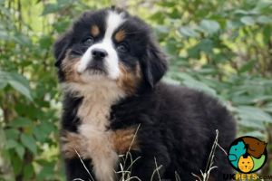 Bernese Mountain Dog Online Ad