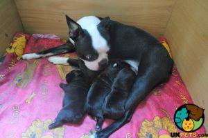 Boston Terrier For Sale in Lodon