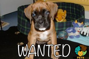 Boxer Wanted in the UK
