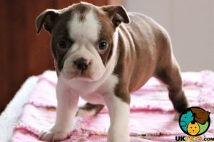Boston Terriers for Rehoming