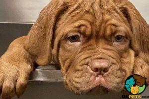 Dogue De Bordeaux Online Listings