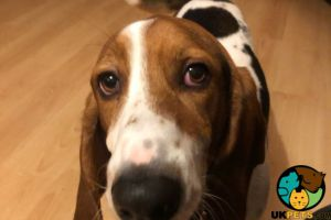 Basset Hound for Rehoming