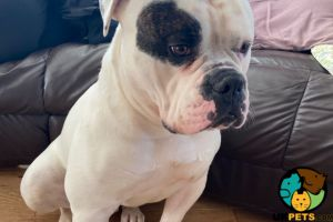 American Bulldog For Stud in the UK