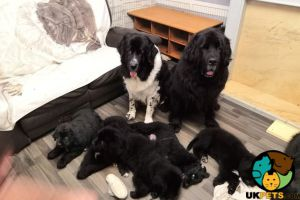 Newfoundland For Sale in the UK